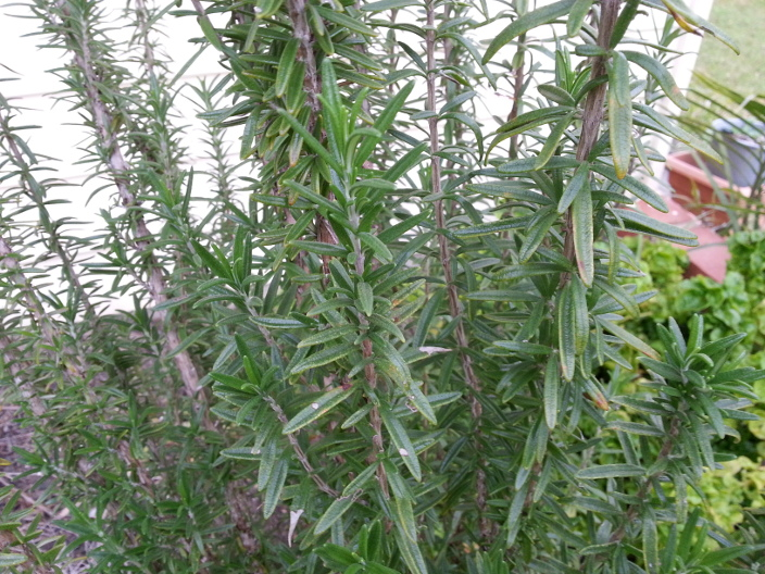 Rosemary 'Upright Form' Plant