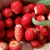 Heirloom Alpine Strawberry Seeds