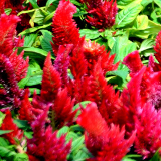 Celosia 'Forest Fire'