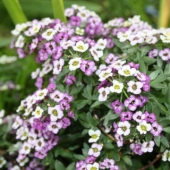 Alyssum 'Royal Carpet'