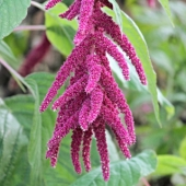 Flower Amaranth 'Love Lies Bleeding'