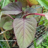 Leaf Amaranth 'Red'