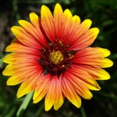 Gaillardia 'Single Mix'