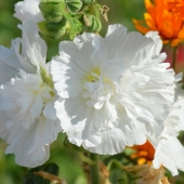 Hollyhock 'Chaters Double Mix'