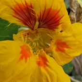 A yellow flowered plant of Nasturtium 'Jewel Mix'