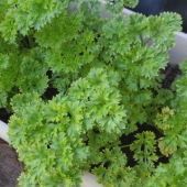 Parsley 'Triple Curl'