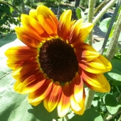 Sunflower 'Evening Sun'