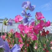 Sweet Pea 'Multiflora Colorama'