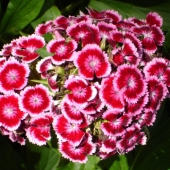 Sweet William 'Wee Willie'