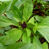 Thai Basil 'Siam Queen'