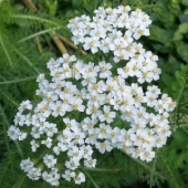 Yarrow 'White Flowered'