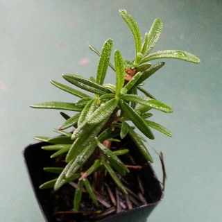 Rosemary 'Upright Form'